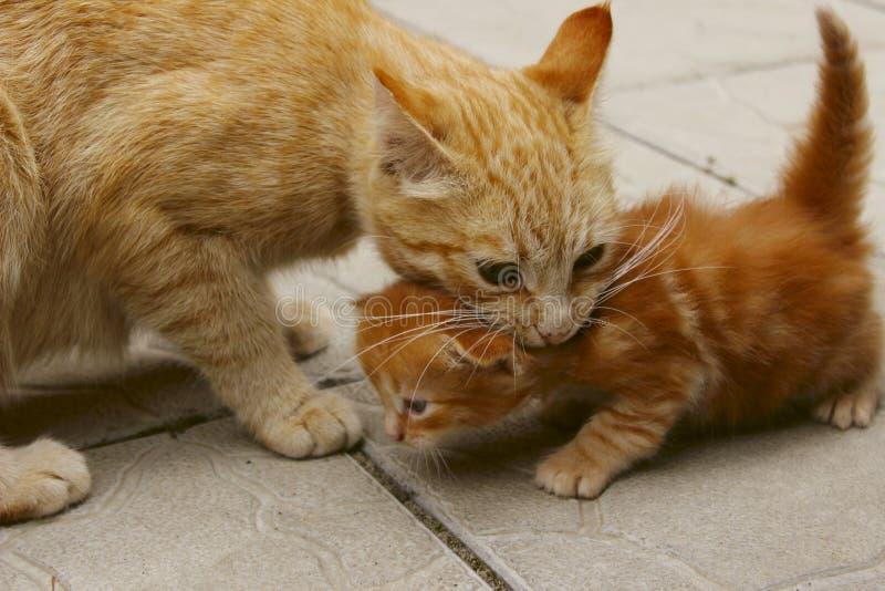 Imagen borrosa de un gato del jengibre que sostiene un pequeño gatito en la boca Animales, animales domésticos, concepto de famil imagenes de archivo