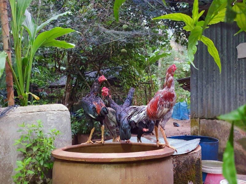 Imagen borrosa del gallo del grupo en la granja en Tailandia fotografía de archivo