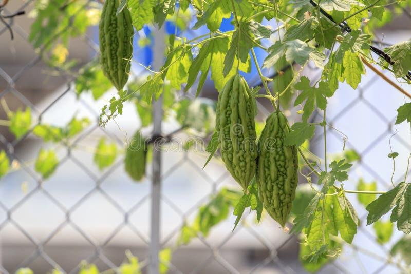 Imagen común libre de alta calidad de los derechos del melón amargo El charantia del Momordica llamó a menudo el melón amargo, la foto de archivo