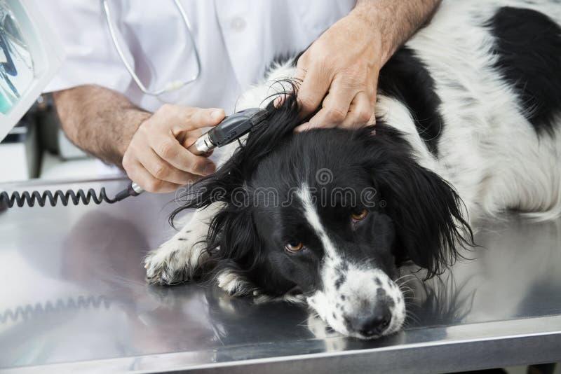 Imagen cosechada del oído del doctor Examining Border Collie con Machi imagen de archivo libre de regalías