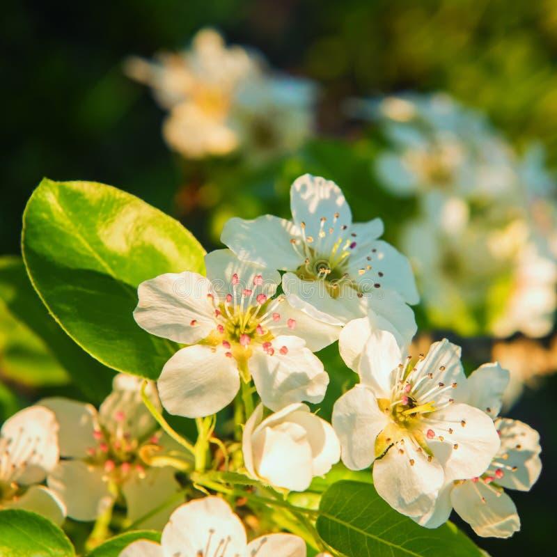 Imagen cuadrada del primer de la rama de peral en la floración foto de archivo libre de regalías
