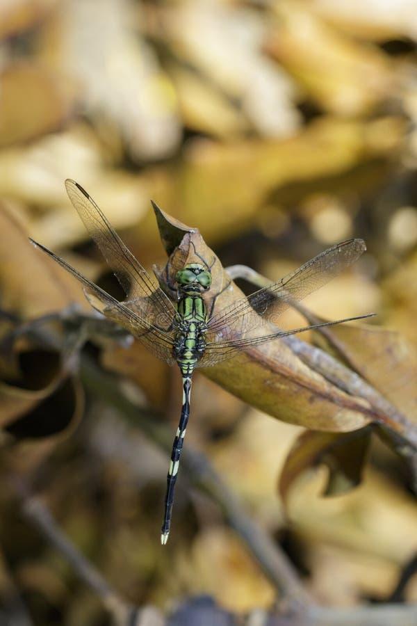 Imagen de bailar pallidinervis de los dragonflyTrithemis de Drowing imagen de archivo