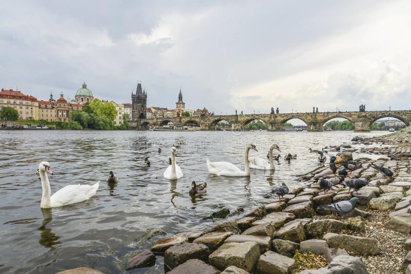 Imagen de Charles Bridge en Praga con los cisnes fotos de archivo libres de regalías