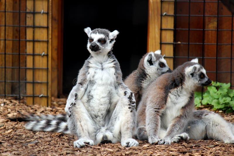Imagen de diversión de los lémures que se sientan en guarida, visitantes de observación de la cola del anillo para pasar por ello imagen de archivo libre de regalías