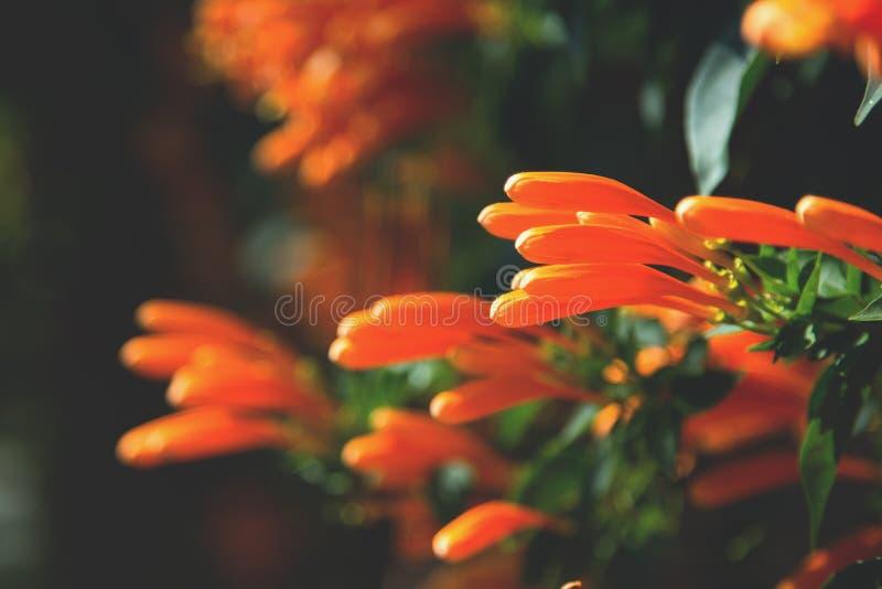 Imagen de flores tropicales anaranjadas brightful Primer de la trompeta anaranjada, flor de llama, vid del petardo en la pared foto de archivo