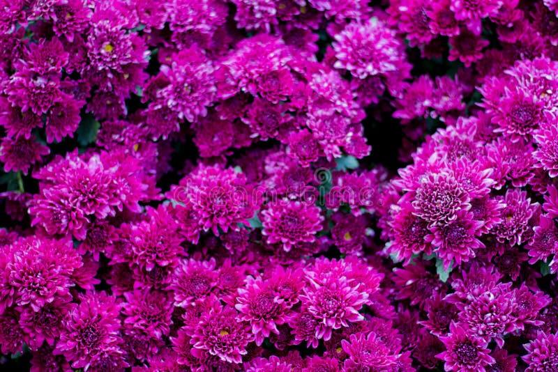 Imagen de fondo de muchas flores púrpuras fotos de archivo