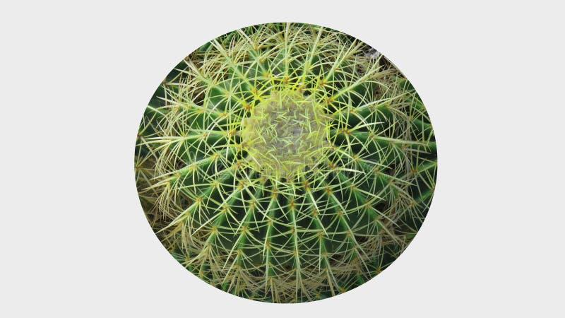Imagen de fondo redonda de Pin Cushion Cactus Swirl Texture fotos de archivo libres de regalías