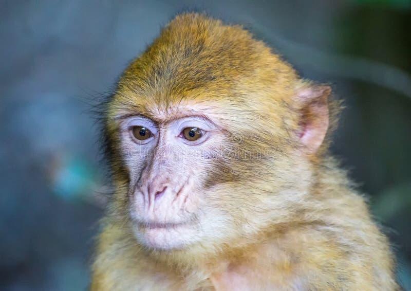 Imagen de jugar y de comer los macaques de barbary en un prado imágenes de archivo libres de regalías