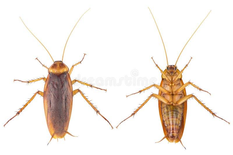 Imagen de la acción de las cucarachas, cucarachas aisladas en el fondo blanco imagen de archivo