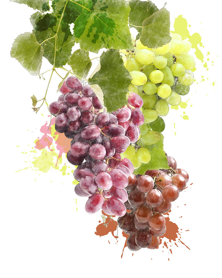Imagen de la acuarela de uvas stock de ilustración