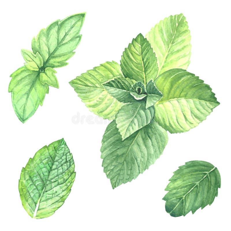 Imagen de la colección de las hojas de menta ilustración del vector