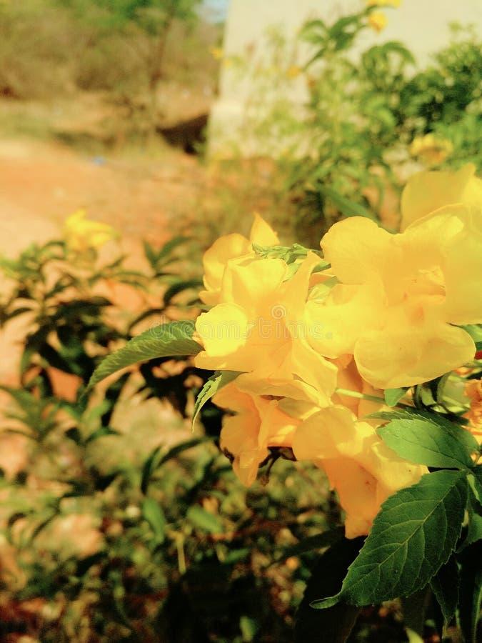 Imagen de la flor de Lili fotos de archivo