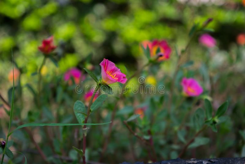 Imagen de la flor, imagen de Rose Flower, imagen de la flor de HD foto de archivo