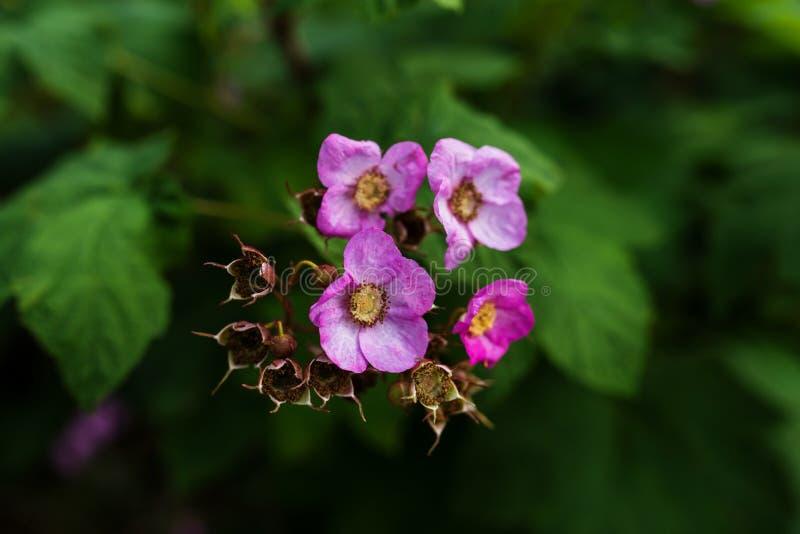 Imagen de la frambuesa púrpura-florecida fotografía de archivo libre de regalías