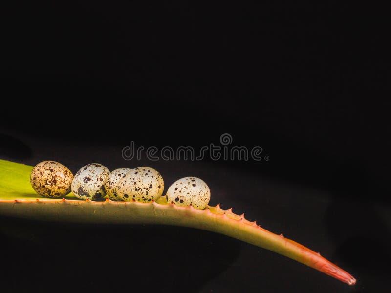 Imagen de la hoja de Vera del áloe con los huevos de codornices en un fondo negro fotos de archivo libres de regalías