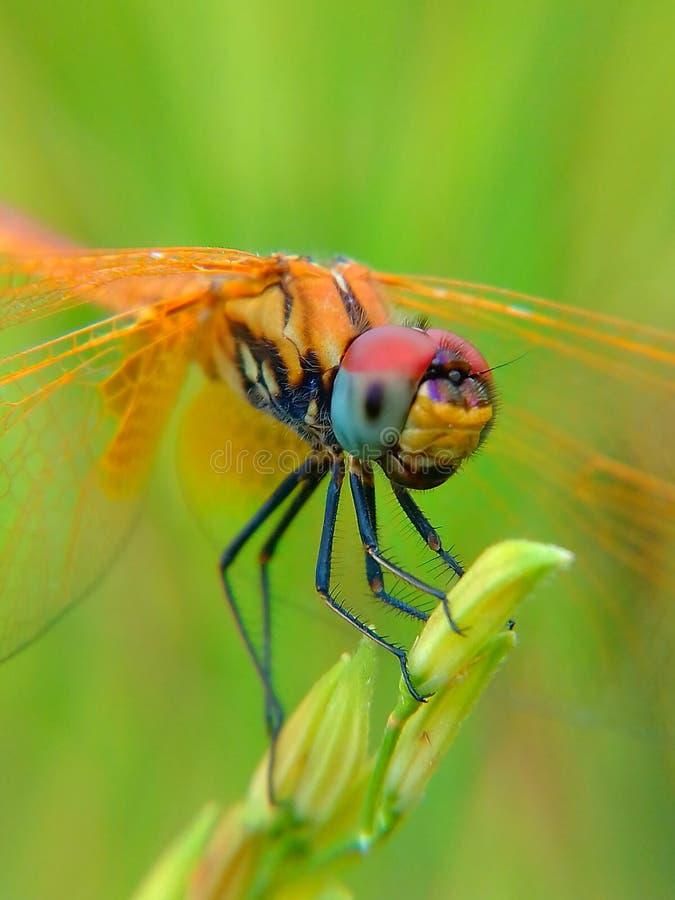 Imagen de la libélula foto de archivo
