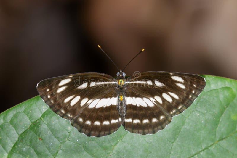 Imagen de la mariposa llana común del marinero en las hojas verdes insecto imagen de archivo