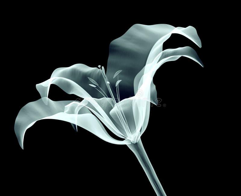 Imagen de la radiografía de una flor aislada en negro imagen de archivo