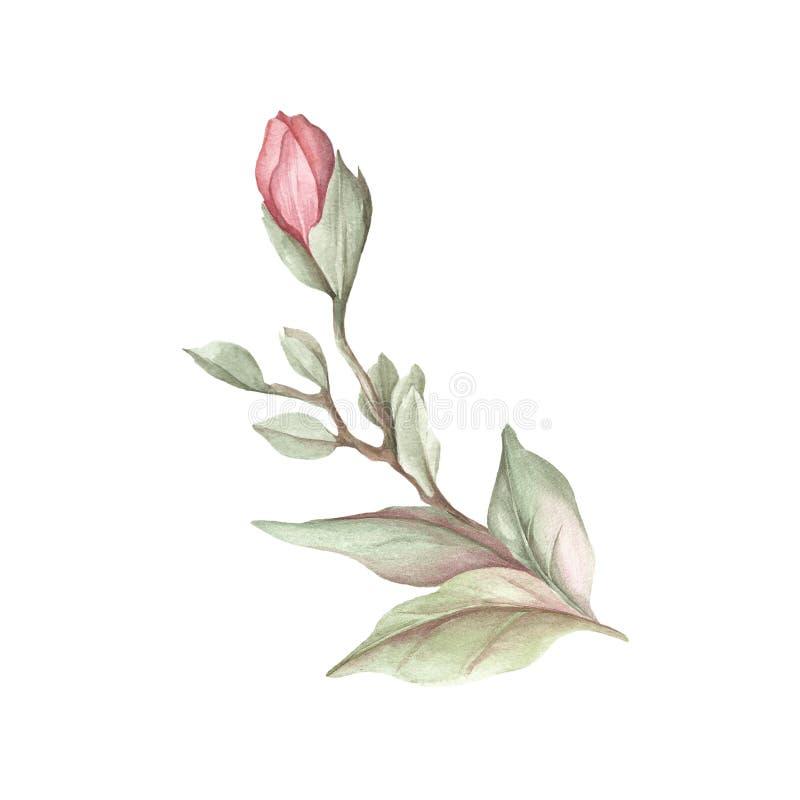 Imagen de la rama floreciente de la magnolia Ilustración de la acuarela stock de ilustración