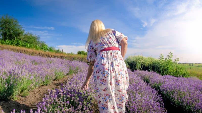 Imagen de la vista posterior de las flores conmovedoras de la mujer joven mientras que camina en campo de la lavanda fotos de archivo