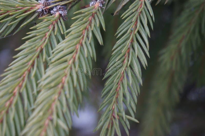 Imagen de las agujas del árbol de navidad macras fotografía de archivo
