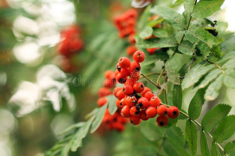 Imagen de las bayas de serbal en un arbusto, primer fotos de archivo