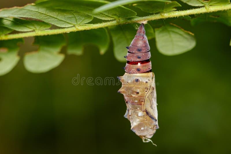 Imagen de las crisálidas de un butterfl en fondo de la naturaleza Animal del insecto fotografía de archivo libre de regalías