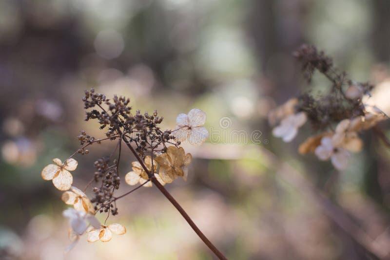 Imagen de las flores secas de los arborescens de la hortensia en el bosque en la puesta del sol Fondo natural fotos de archivo libres de regalías