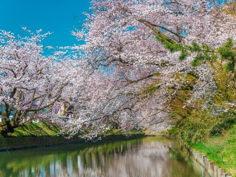 Imagen de los árboles de Cherry Blossom en el río con el cielo azul y la hierba verde en Japón imágenes de archivo libres de regalías