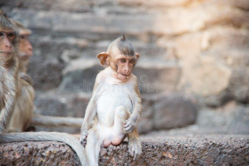 Imagen de los fascicularis del bebé de un macaca del mono, macaque de cola larga, imagen de archivo