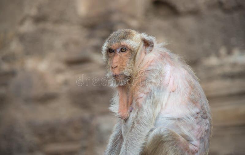 Imagen de los fascicularis de un macaca del mono, macaque de cola larga, cangrejo fotografía de archivo