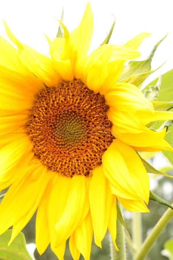 Imagen de relleno de la cabeza del girasol amarilla y anaranjada imagen de archivo