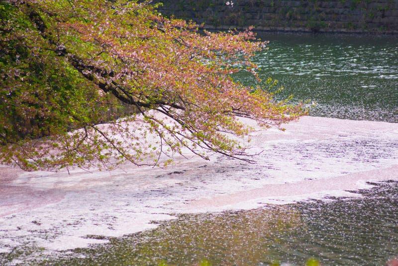 Imagen de Sakura de Chidorigafuchi foto de archivo libre de regalías