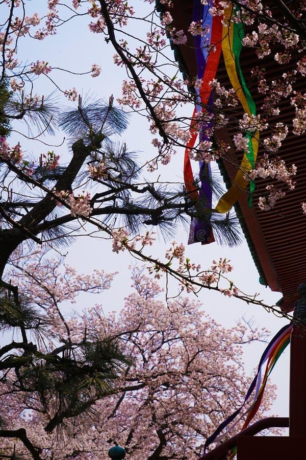 Imagen de Sakura de la montaña de Yokohama Takamichi imagen de archivo libre de regalías