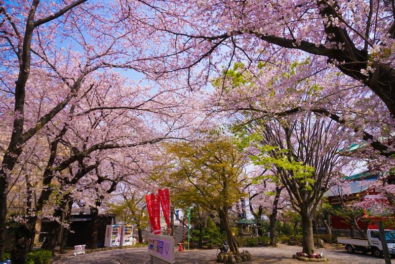 Imagen de Sakura de la montaña de Yokohama Takamichi fotografía de archivo
