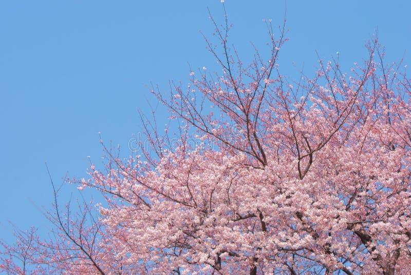 Imagen de Sakura fotos de archivo