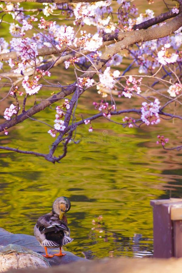 Imagen de Sakura y del pato imagen de archivo libre de regalías