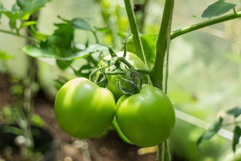 Imagen de tomates verdes en tronco en invernadero fotos de archivo libres de regalías