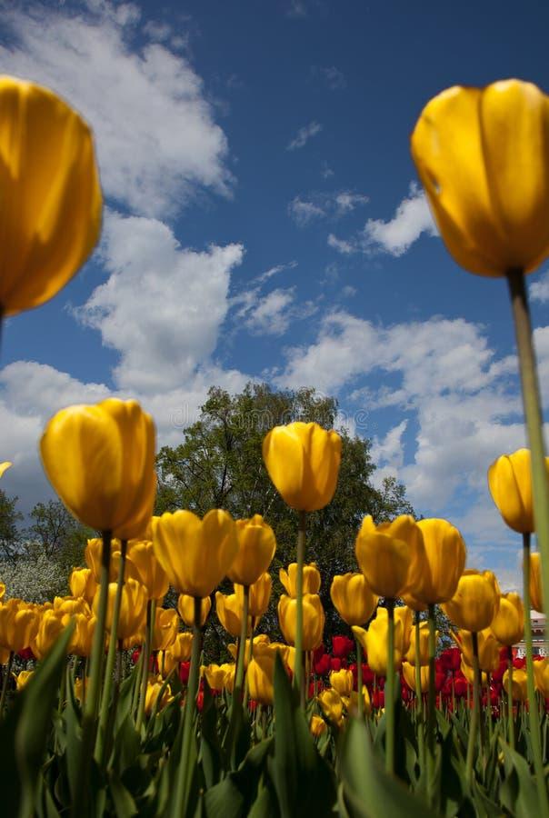 Imagen de tulipanes contra el cielo azul imagenes de archivo