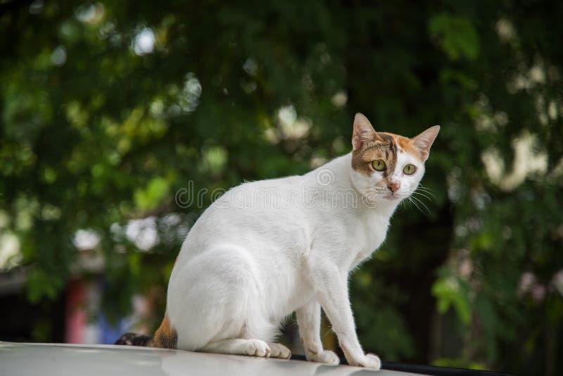 Imagen de un gato en el blackground del neture, gato tailandés, animales domésticos fotografía de archivo