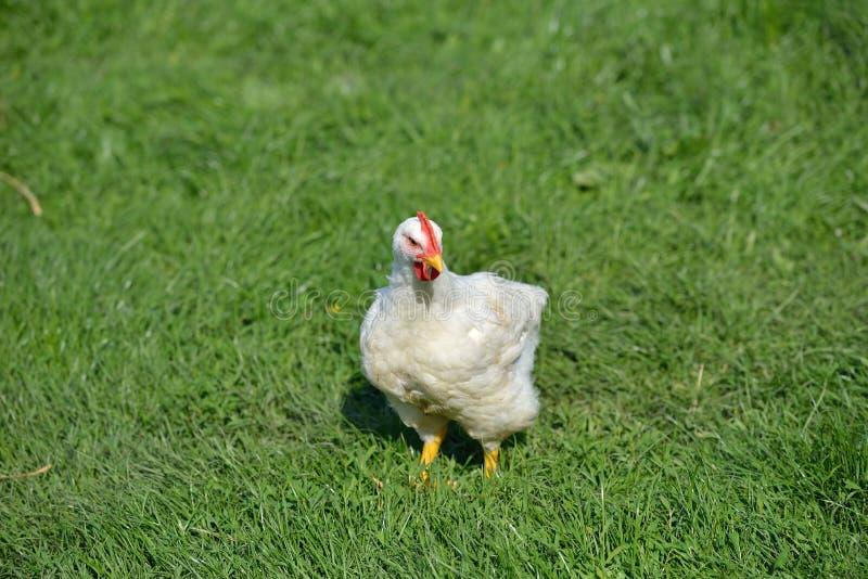 Imagen de un pollo de las plumas blancas que se coloca en una hierba verde L foto de archivo libre de regalías