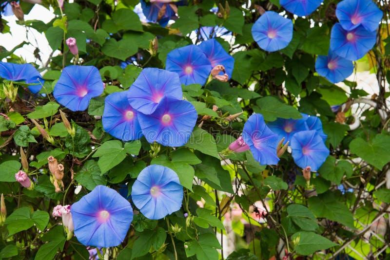 Imagen de una flor azul de la mañana Glory Ipomoea en el jardín fotos de archivo libres de regalías