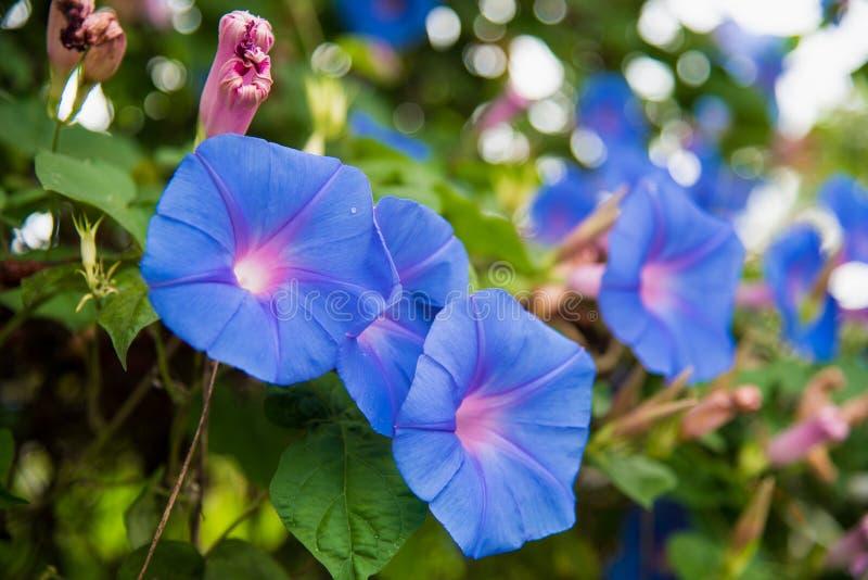 Imagen de una flor azul de la mañana Glory Ipomoea en el jardín imágenes de archivo libres de regalías