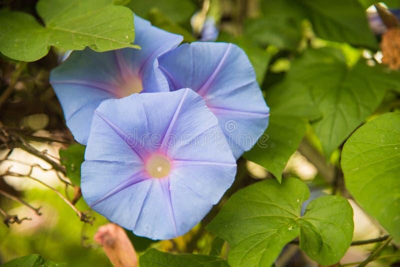 Imagen de una flor azul de la mañana Glory Ipomoea en el jardín fotografía de archivo