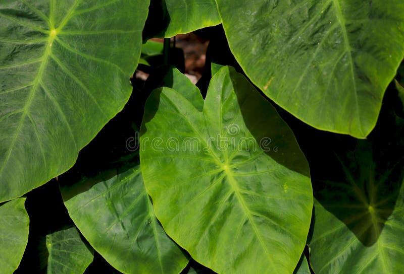Imagen de una planta con las hojas verdes ovales grandes en un día soleado imágenes de archivo libres de regalías