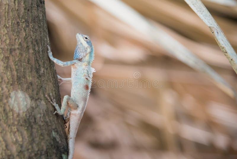 Imagen del camaleón azul macro en el árbol, cambio natural del color foto de archivo