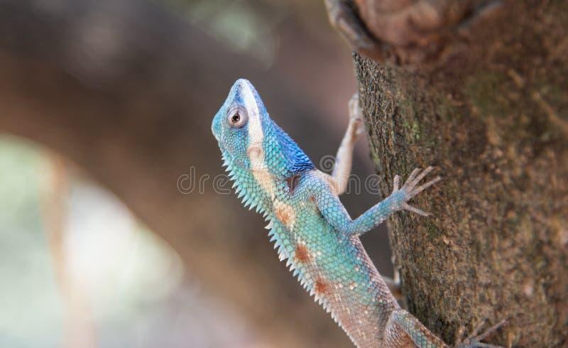 Imagen del camaleón azul macro en el árbol, cambio natural del color fotografía de archivo libre de regalías