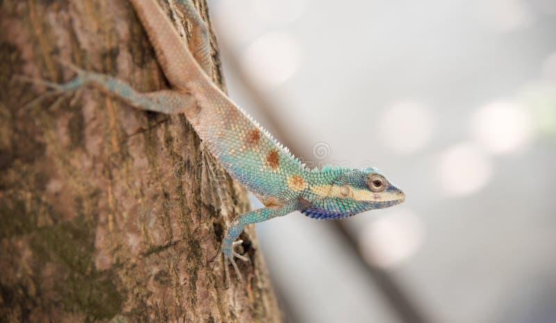Imagen del camaleón azul macro en el árbol, cambio natural del color imagenes de archivo