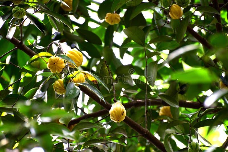 Imagen del cambodgia crecida en un árbol del cambodgia fotos de archivo libres de regalías