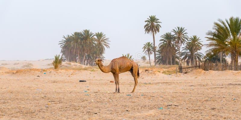 Imagen del camello en el desierto Sáhara en las palmeras del fondo, Túnez, África fotos de archivo libres de regalías